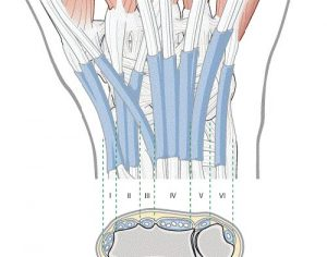 Figure 1. The extensor compartments of the wrist.
