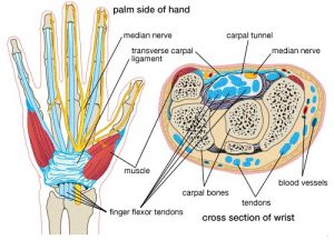 Figure 2. Carpal Tunnel Anatomy